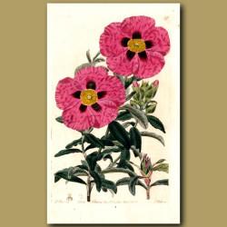 Purple-flowered Rock Rose