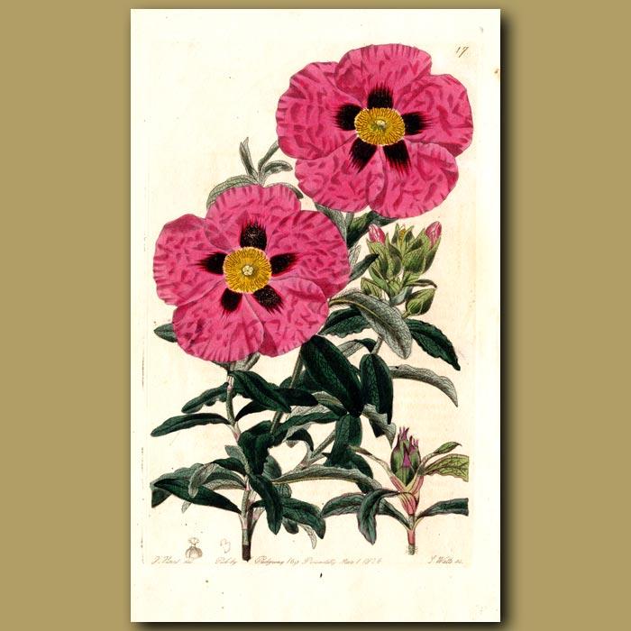 Antique print. Purple-flowered Rock Rose