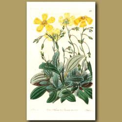 Plantain-leaved Sun Rose