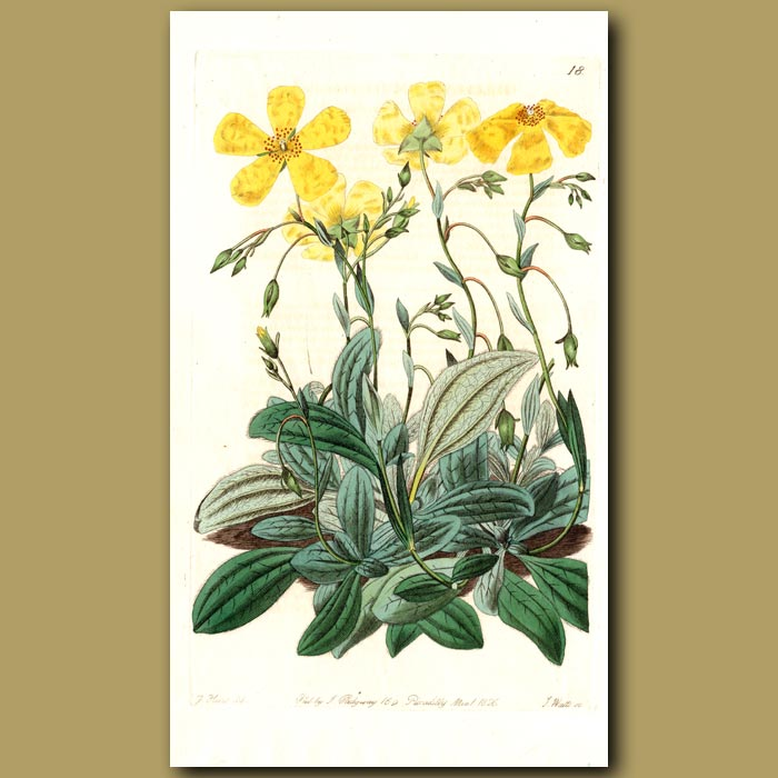 Antique print. Plantain-leaved Sun Rose