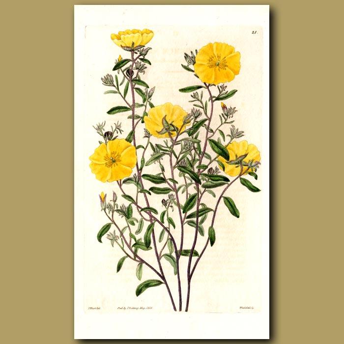 Antique print. Canada Sun Rose