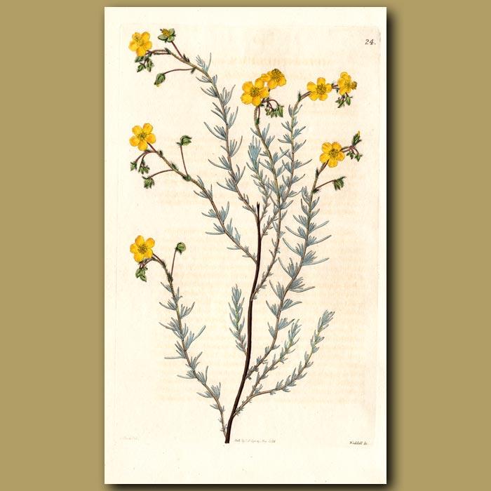 Antique print. Cluster-leaved Sun Rose