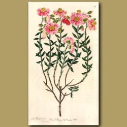 Various coloured Sun Rose