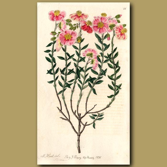 Antique print. Various coloured Sun Rose