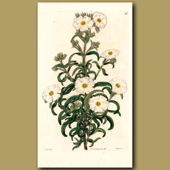 Antique print. Montpelier Rock Rose