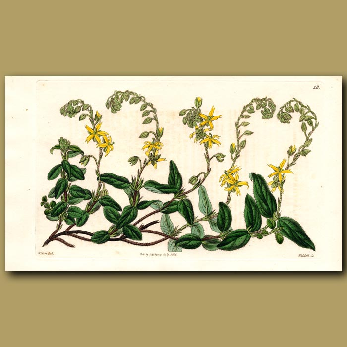 Antique print. Dotted -leaved Sun Rose