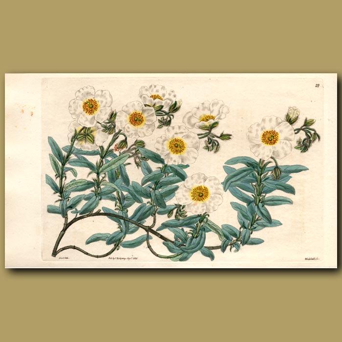 Antique print. Powdered Sun Rose