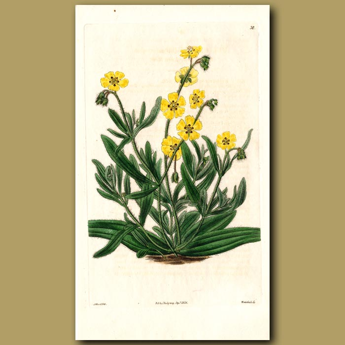 Antique print. Woolly-stalked Sun Rose