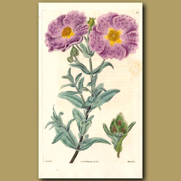 Antique print. White-leaved Rock Rose