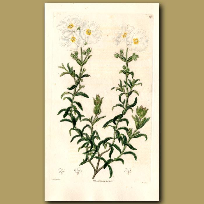 Antique print. Clusius's Rock Rose