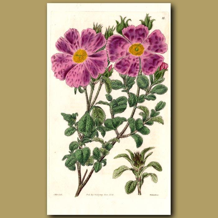 Antique print. Villous Rock Rose