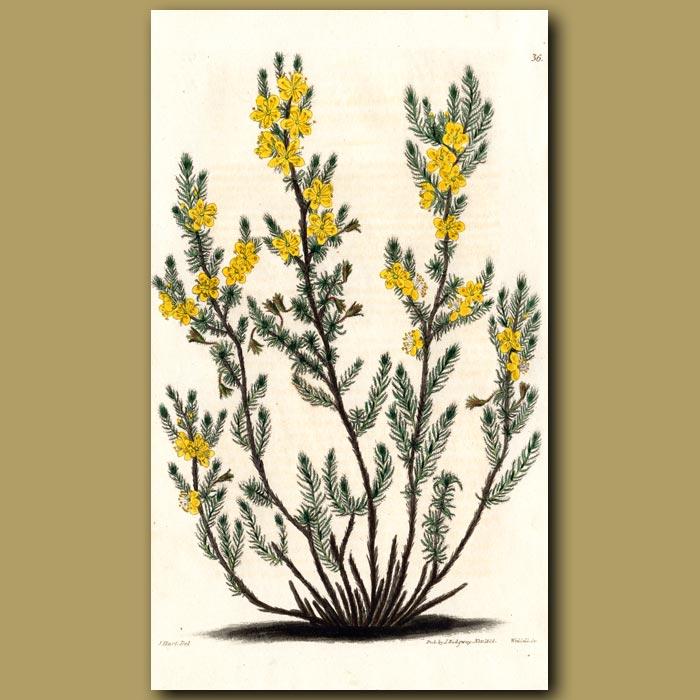Antique print. Heath-like Hudsonia