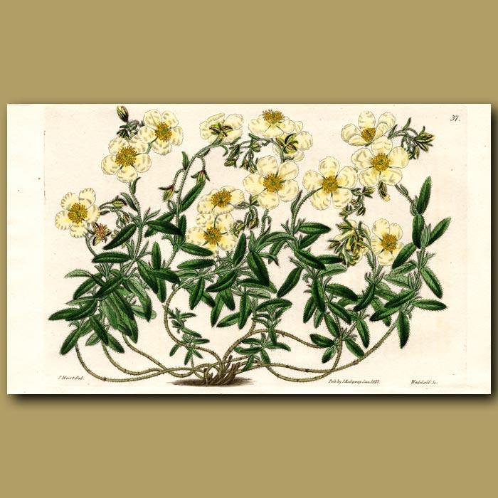 Antique print. Sulphur-coloured Sun Rose