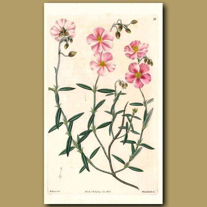 Antique print. Variegated-flowered Sun Rose