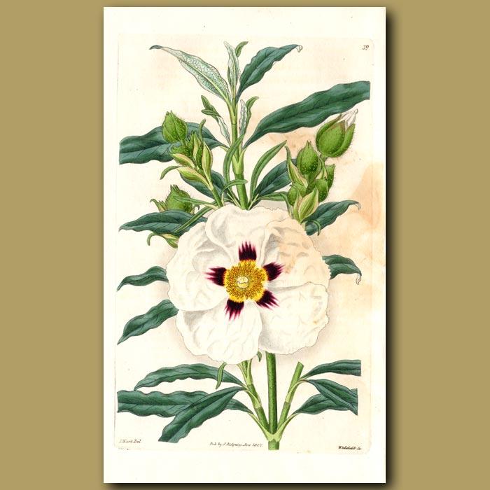 Antique print. Common Gum Rock Rose