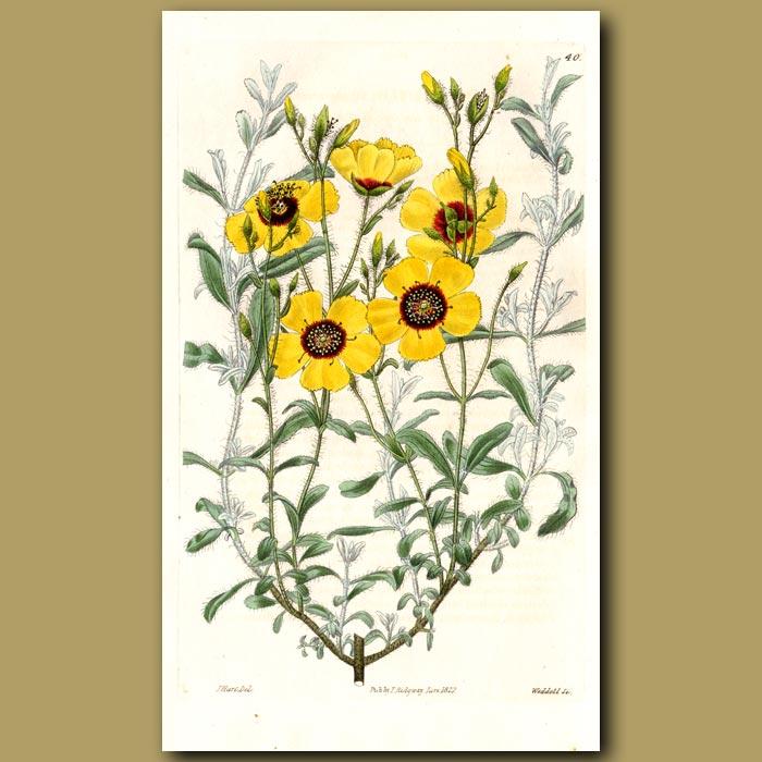 Antique print. Algarvian Sun Rose