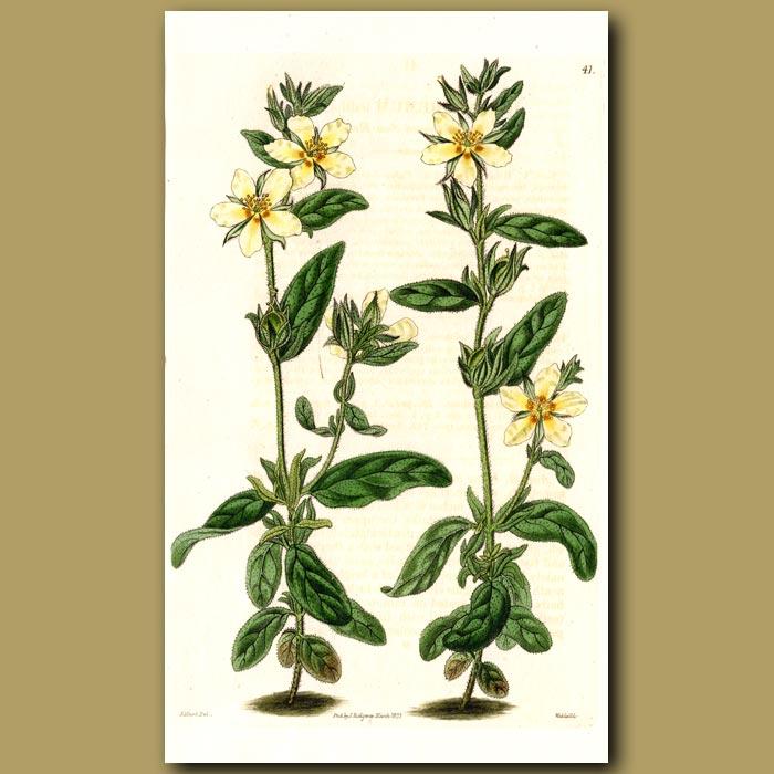 Antique print. Ledum-leaved Sun Rose