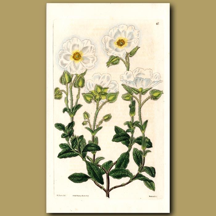 Antique print. Blunt-leaved Cretan Rock Rose