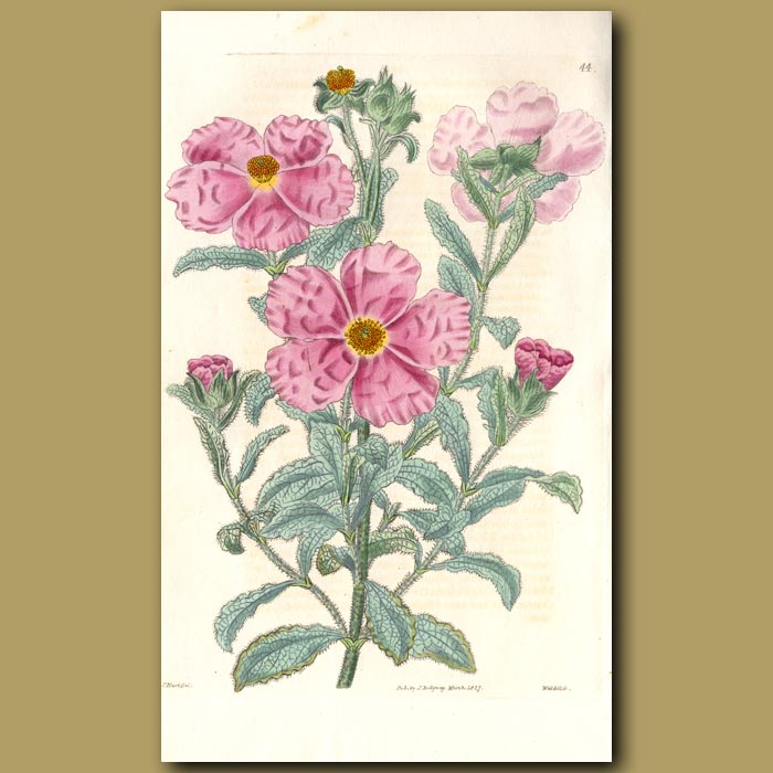 Antique print. Hoary Rock Rose