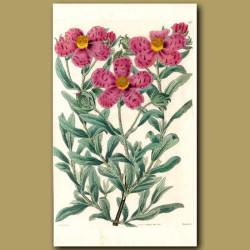 Narrow-leaved hoary Rock Rose