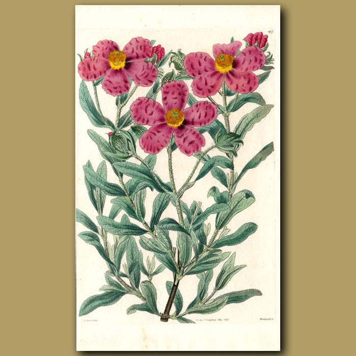 Antique print. Narrow-leaved hoary Rock Rose