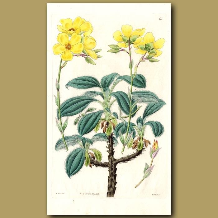 Antique print. Hard-wooded Sun Rose