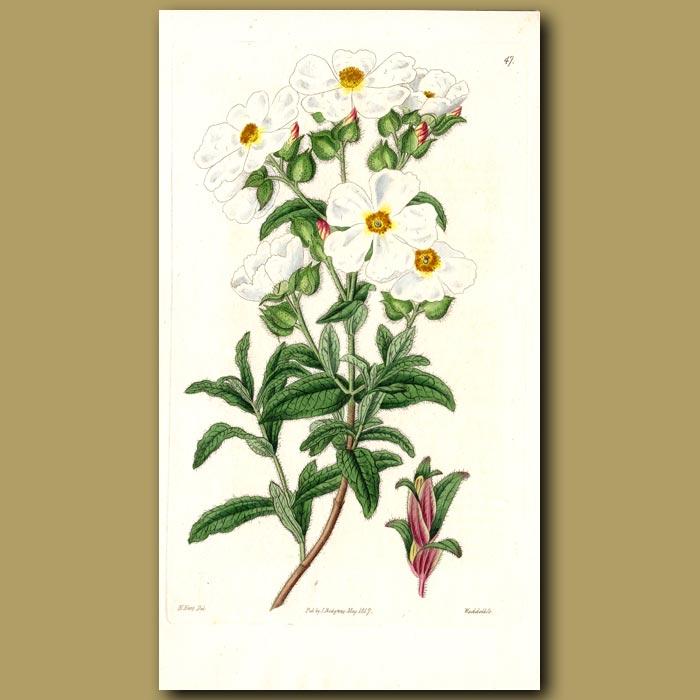 Antique print. Broad-sepaled Rock Rose