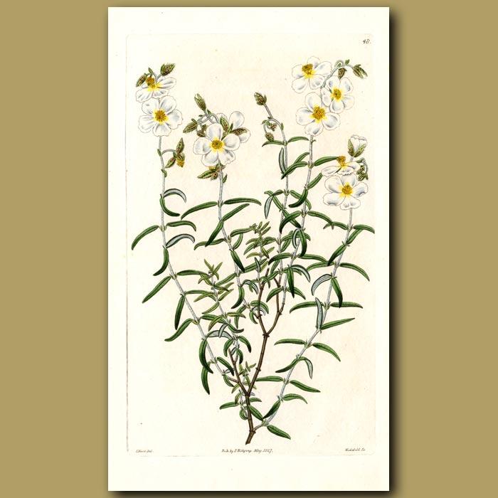 Antique print. Linear-leaved Sun Rose