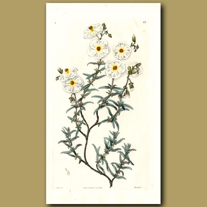 Antique print. Hairy Sun Rose