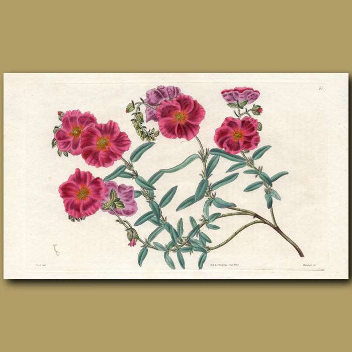 Canescent Sun Rose: Genuine antique print for sale.