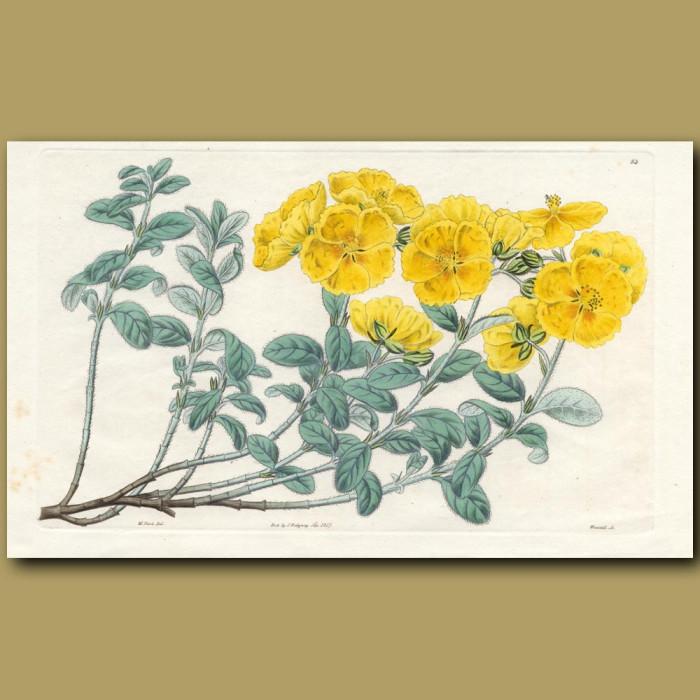 Saffron-coloured Sun Rose: Genuine antique print for sale.