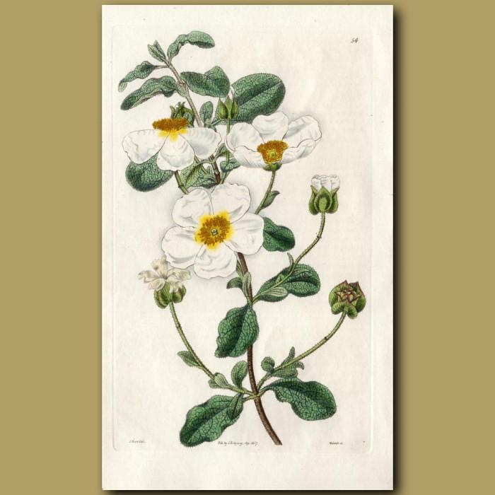 Sage-leaved Rock Rose: Genuine antique print for sale.