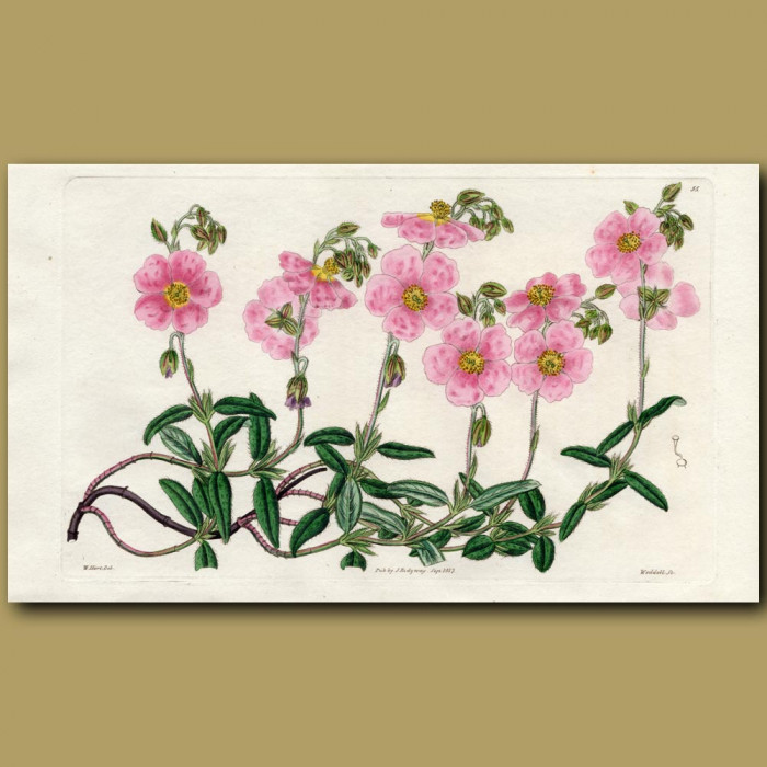 Rose-coloured Sun Rose: Genuine antique print for sale.