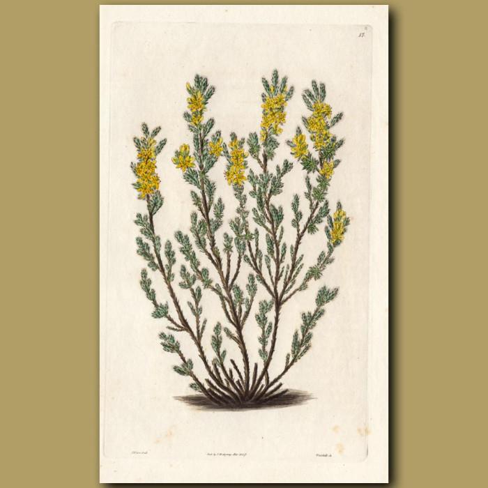 Beach Heather: Genuine antique print for sale.