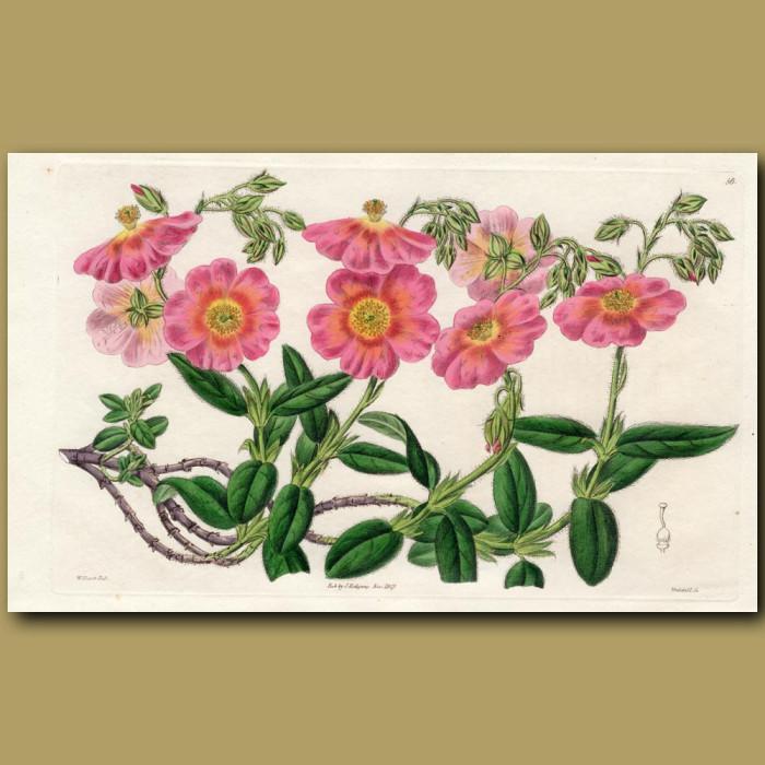 Copper-coloured Hyssop-leaved Sun Rose: Genuine antique print for sale.
