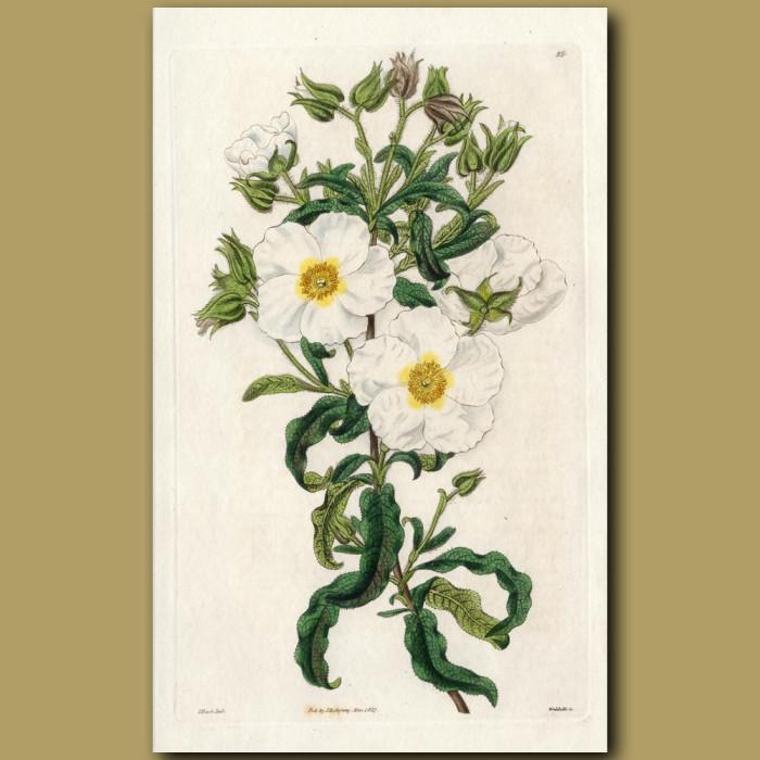 Florentine Rock Rose: Genuine antique print for sale.