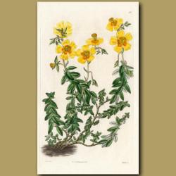 Serpyllum-leaved Sun Rose