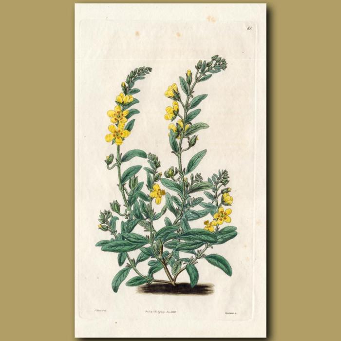 Spot-flowered Sun Rose: Genuine antique print for sale.