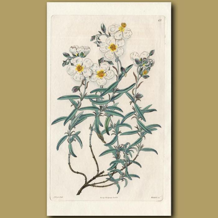 Appenine Sun Rose: Genuine antique print for sale.
