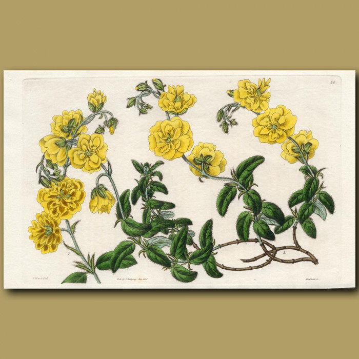 Common Sun Rose: Genuine antique print for sale.