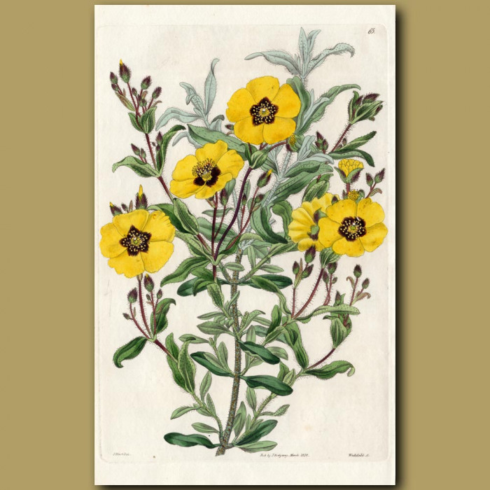 Rugged-leaved Sun Rose: Genuine antique print for sale.