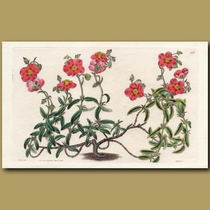 Copper-coloured Sun Rose: Genuine antique print for sale.