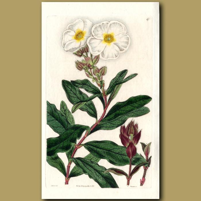 Oblong-leaved Rock Rose: Genuine antique print for sale.