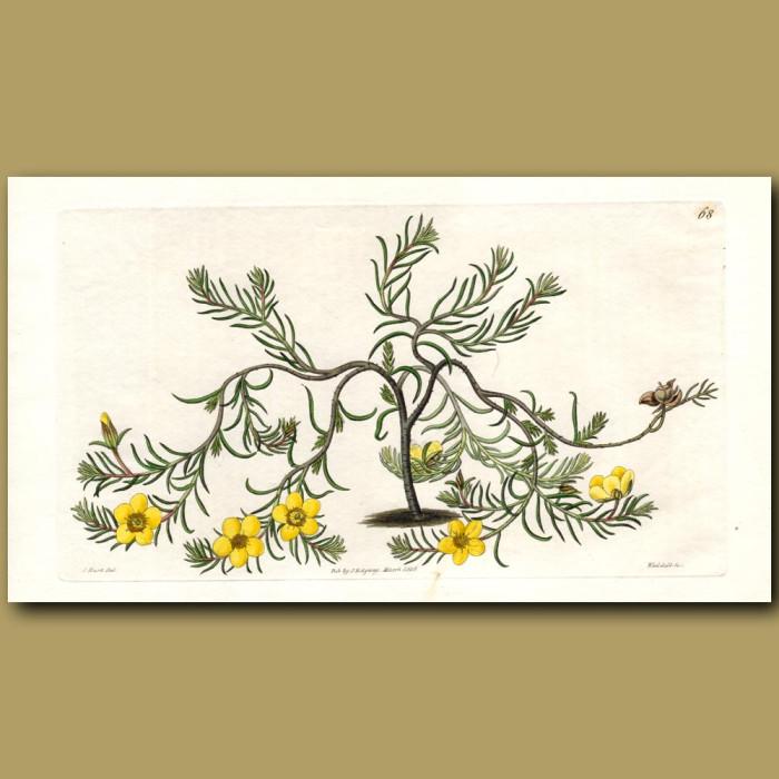 Procumbent Sun Rose: Genuine antique print for sale.