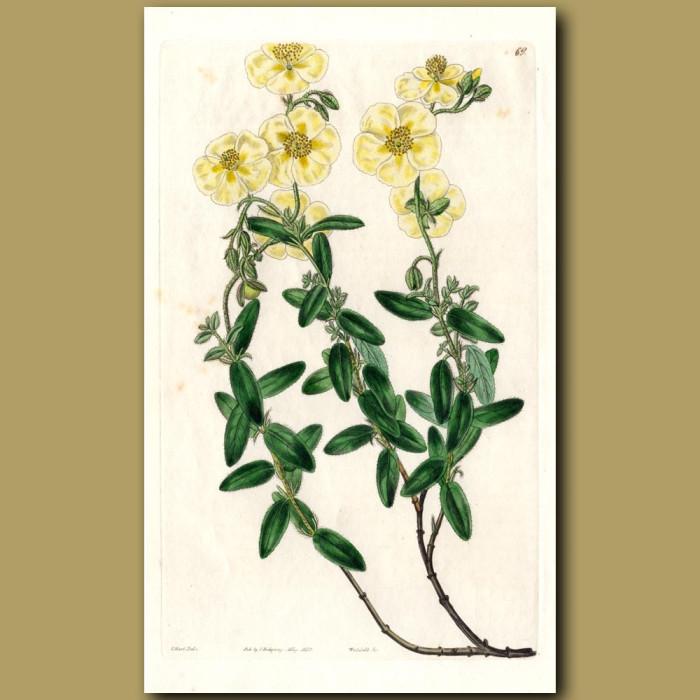 Large-flowered Sun Rose: Genuine antique print for sale.