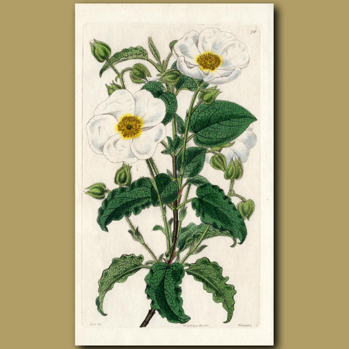 Heart-leaved Rock Rose: Genuine antique print for sale.
