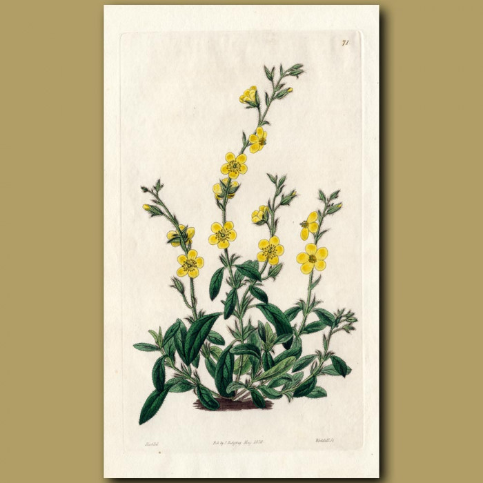 Willow-leaved annual Sun Rose: Genuine antique print for sale.
