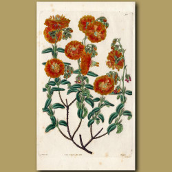 Double-flowered Hyssop-leaved Sun Rose