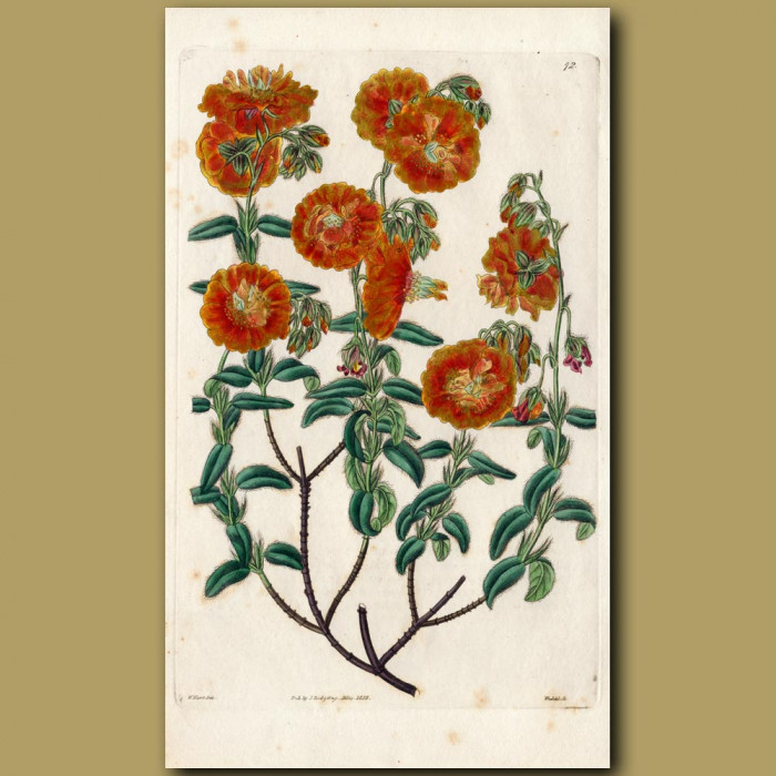 Double-flowered Hyssop-leaved Sun Rose: Genuine antique print for sale.