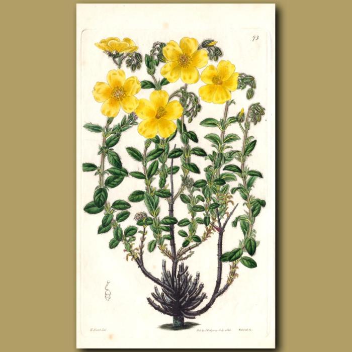 Bearded Sun Rose: Genuine antique print for sale.